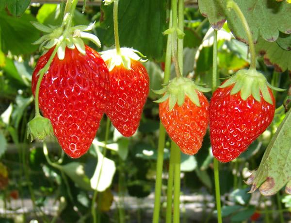 イチゴの画像 p1_22
