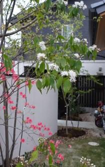 ハイノキ花